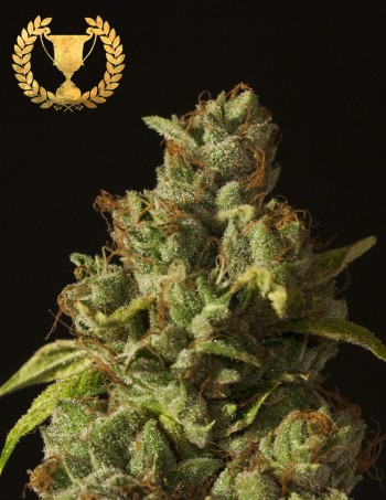 Rollex OG Kush by The Devils Harvest Seeds