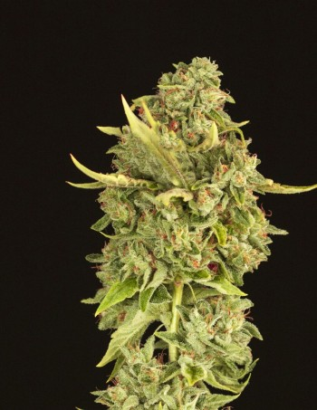 Hell's Bells Regular Cannabis Seeds