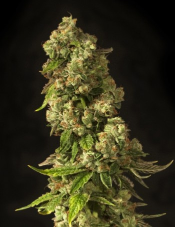 John Doe by The Devil's Harvest Seeds