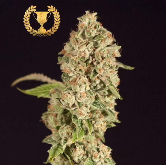 OG Reekn by The Devil's Harvest Seeds