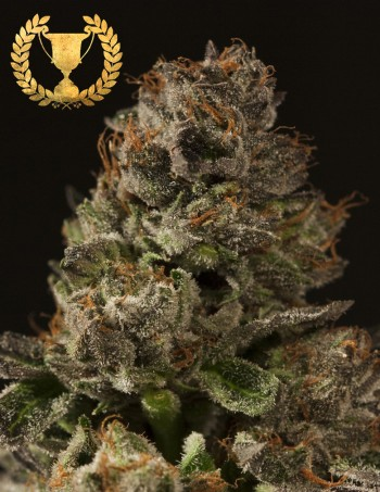 Strawberry Sour Diesel by The Devils Harvest Seeds