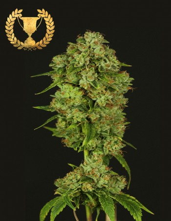 casey jones feminized