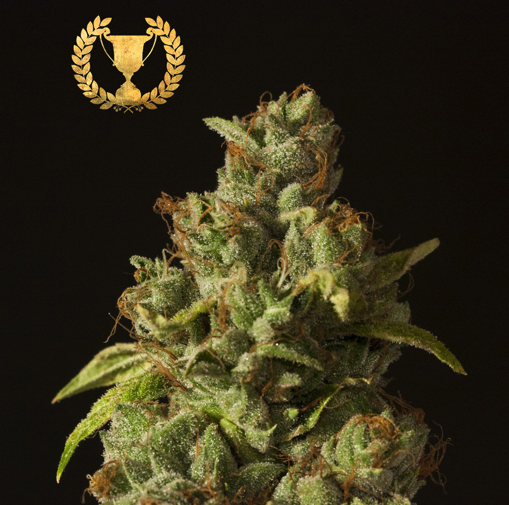 a review of marijuana Strain review: jeepers, creepers — funky og's effects are worth the wait the strain review is the quintessential marijuanacom column and since cannabis.